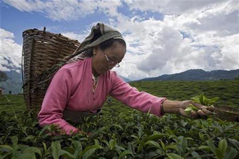 A tea garden labourer plucks tea leaves at the organic tea garden of Temi Tea Estate in India's Himalayan state of Sikkim October 10, 2009. Photo: Reuters