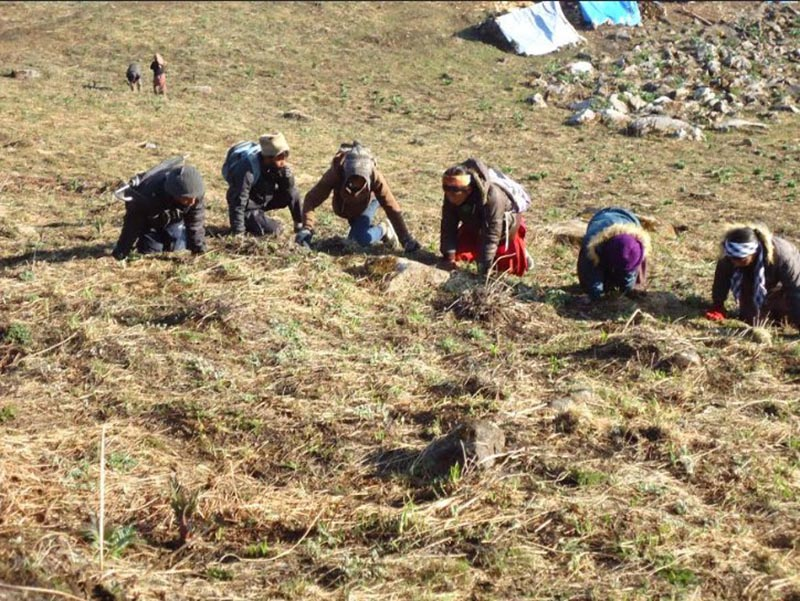 People are seen searching for Yarsagumba at Saipal of Bajhang district, on Monday, May 13, 2019. Photo: Tekendra Deuba/THT