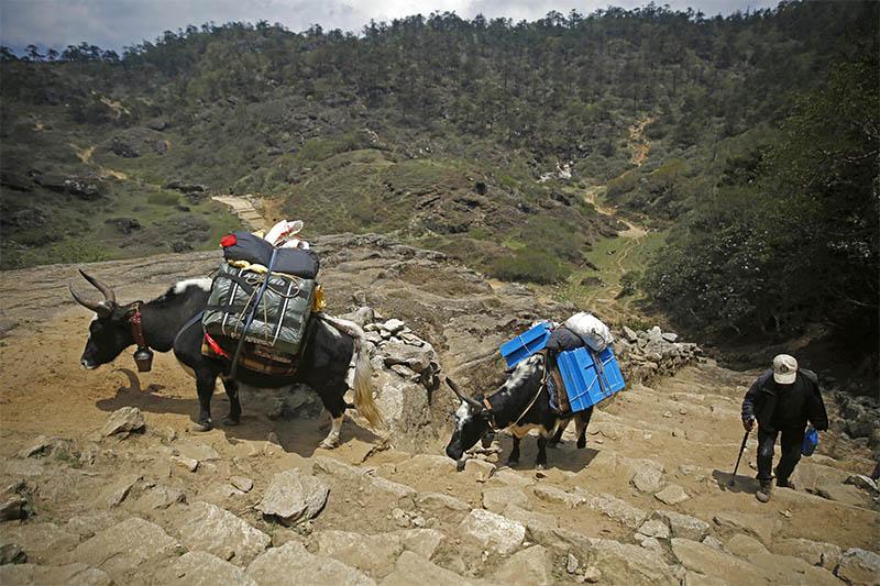 Yaks are seen transporting loads near Khumjung Village, in Solukhumbu district, on Tuesday, May 28, 2019. Photo: Skanda Gautam/THT