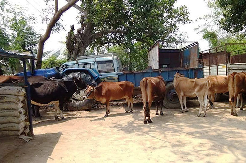 Police seized cows being smuggled into India, in Rautahat district, on Thursday, May 09, 2019. Photo: Prabhat Kumar Jha/THT