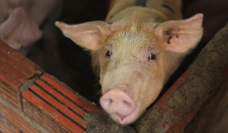 In this May 30, 2019, photo, a pig is seen in a pen in My Duc district, Hanoi, Vietnam. Photo: AP