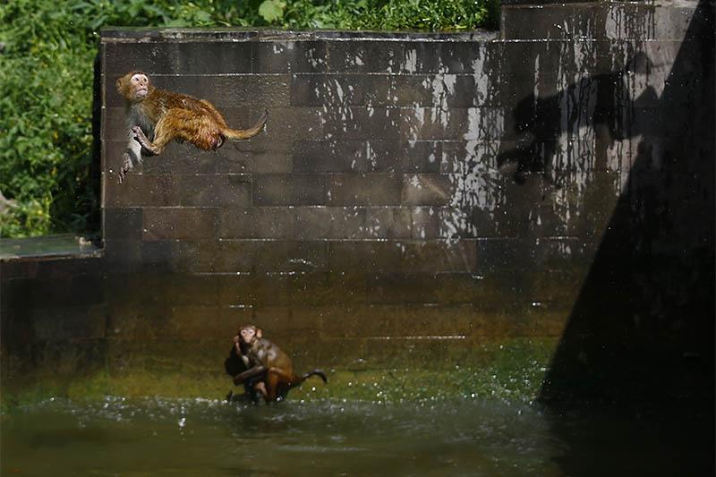 Monkeys dive off a high wall on a summer day inside a pond in Kathmandu, on Sunday, July 21, 2019. Photo: Skanda Gautam/THT