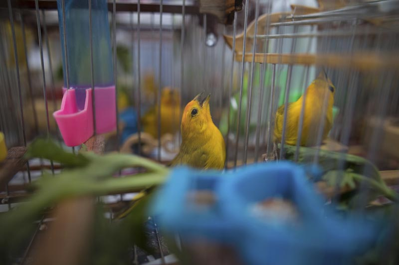 In this August 5, 2019 photo, canaries caught from the wild by animal traffickers sing in their cages in a quarantined area of a wildlife centre before being freed in Bogota, Colombia. Photo: AP