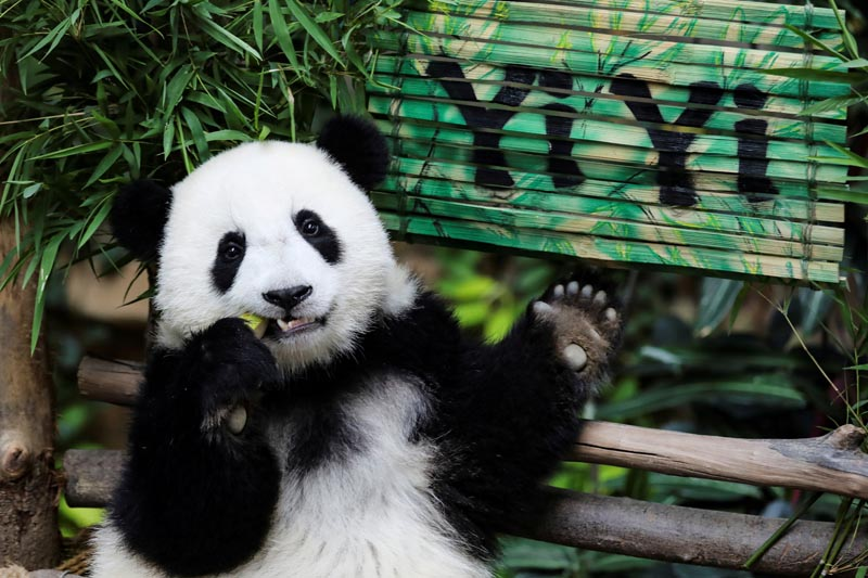 Nineteen-month-old female panda cub Yi Yi, born to parents Liang Liang and Xing Xing on loan from China, eats during her naming ceremony at the National Zoo in Kuala Lumpur, Malaysia, August 1, 2019. Photo: Reuters