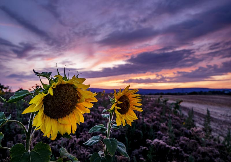 Sunflowers blossom on a field in Frankfurt, Germany, shortly after sunset on Monday, August 5, 2019. Photo: AP