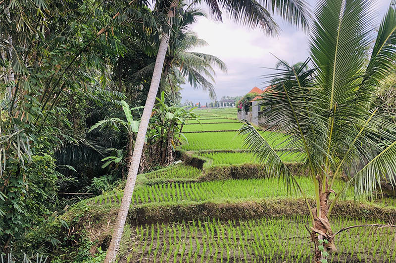 A view of paddy field in Ubud area of Bali. Photo: Mausam Shah Nepali/THT