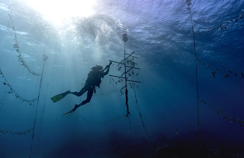 Diver Lenford DaCosta cleans up lines of staghorn coral at an underwater coral nursery inside the Oracabessa Fish Sanctuary, Tuesday, February 12, 2019, in Oracabessa, Jamaica. Photo: AP