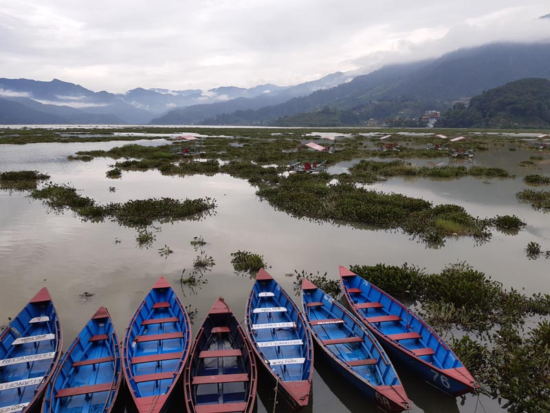 Water hyacinths are seen on the surface of Phewa Lake, located in one of the most popular destinations of Nepal, Pokhara. Photo: Rup Narayan Dhakal/THT