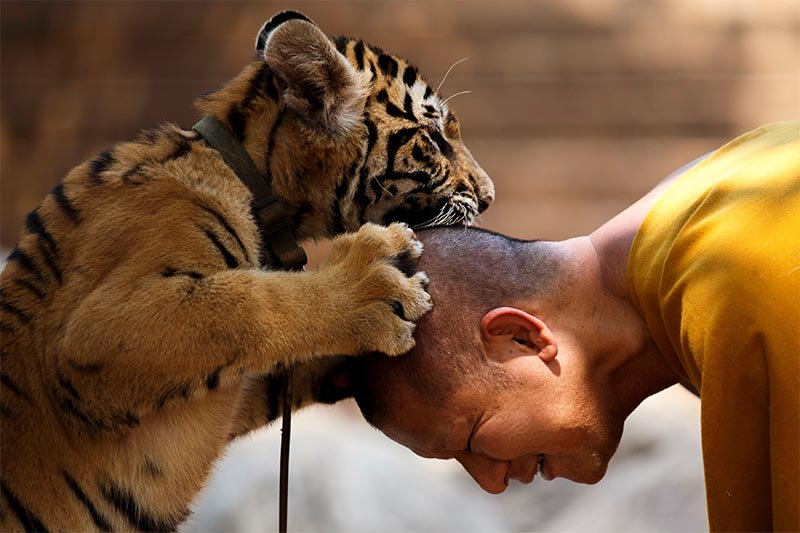 FILE - A Buddhist monk plays with a tiger at the Wat Pa Luang Ta Bua, otherwise known as Tiger Temple, in Kanchanaburi province, Thailand, on February 12, 2015. Photo: Reuters