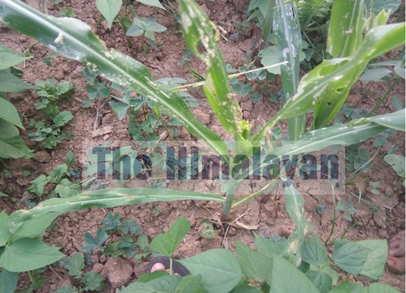 A maize plant that was destroyed by armyworms, in Bhojpur, on Thursday, September 12, 2019. Photo: THT