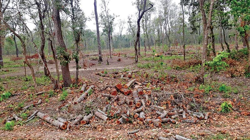A view of timber lying inside a forest in Bara district, on Saturday. Trees have been felled for forest management. Photo: THT