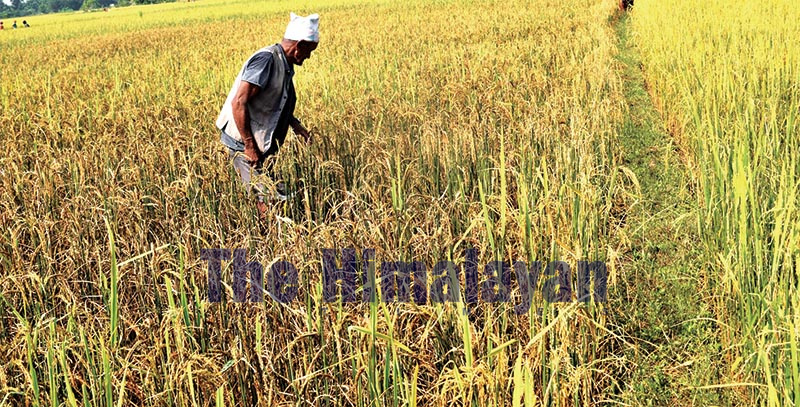 A farmer inspecting paddy after American armyworm destroyed the crop in his field, in Nepalgunj, Banke, on Wednesday, October 23, 2019. Photo: THT
