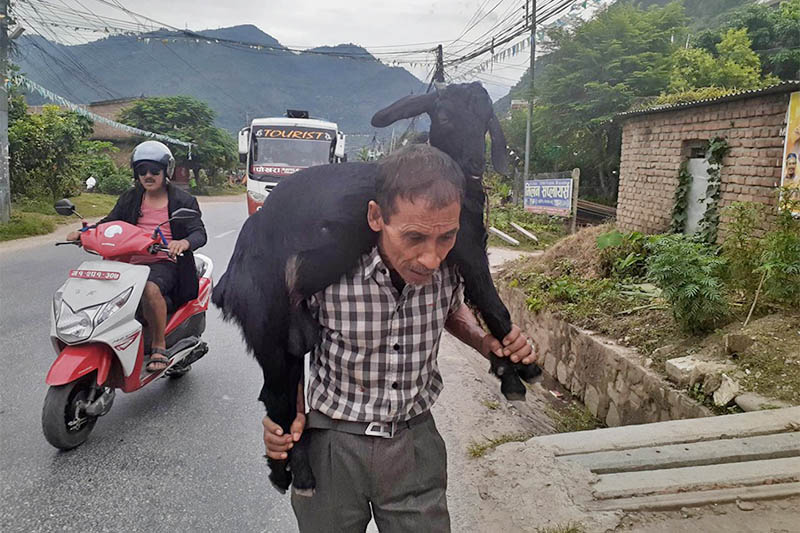 A man carrying goat on his shoulder from a nearby market for upcoming Dashain festival, in Damauli, of Tanahun district, on Wednesday, October 02, 2019. Photo: Madan Wagle/THT