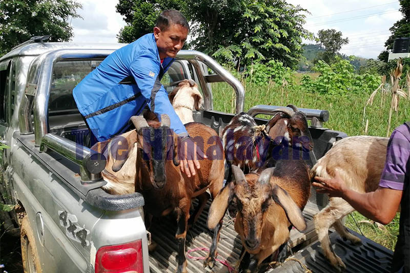 A man prepares to unload goats from a vehicle in Dhading, on Monday, October 14, 2019. Photo: Keshav Adhikari/THT