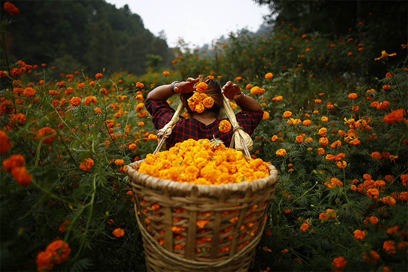 A woman fills her basket with marigold flowers, used to make garlands and offer prayers, as she plucks them before selling to the market for the Tihar festival. Photo: Skanda Gautam/THT
