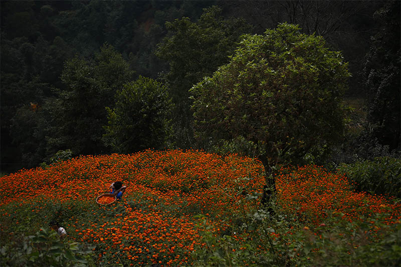 A woman picks marigold flowers, used to make garlands and offer prayers, before selling them to the market for the Tihar festival, also called Diwali, in Ichangu, on the north-west outskirt, of Kathmandu, on Friday, October 25, 2019. Photo: Skanda Gautam/THT