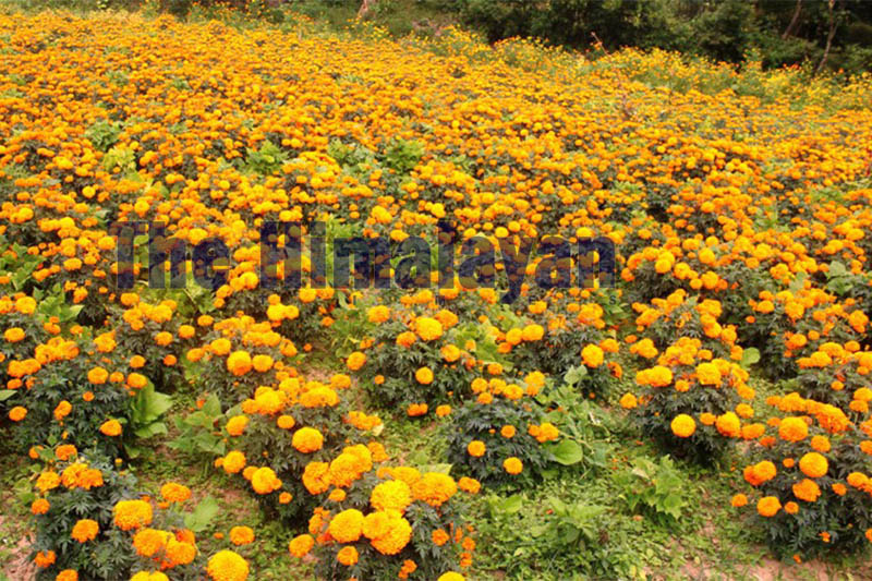 A view of marigold flower orchid in Dhankuta, on Wednesday, October 23, 2019. Photo: Khagendra Prasad Ghimire/THT