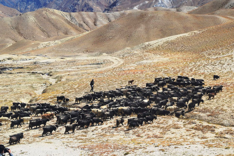 Herds of grey sheep grazing in the fields of Lo Manthang, Upper Mustang. Photo: RSS