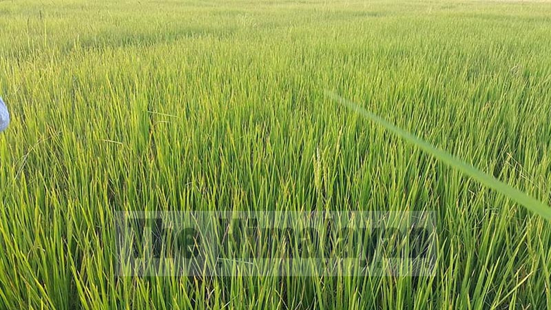 Generic picture of a paddy type u2018Garimau2019 that shows no good signs of good harvest. Photo: Tekendra Deuba / THT