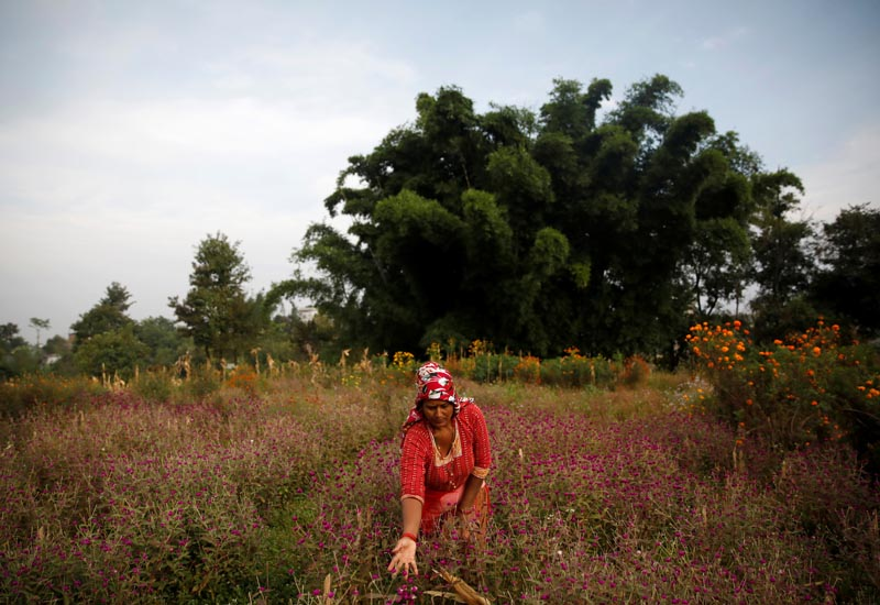 A woman picks globe amaranth flowers, used to make garlands and offer prayers, before selling them to the market for the Tihar festival, also called Diwali, in Bhaktapur, Nepal October 21, 2019. Photo: Reuters