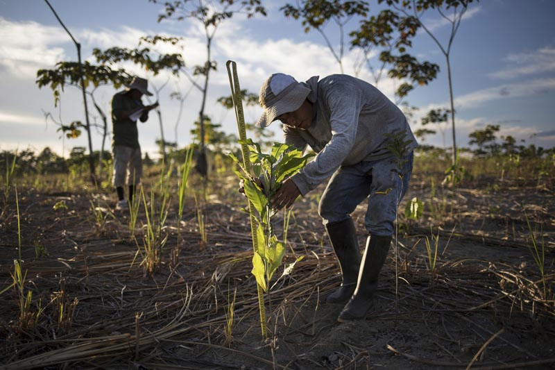 A reforestation assistant measures a newly-planted tree in a field damaged during illegal gold mining in Madre de Dios, Peru, on March 29, 2019. Photo: AP