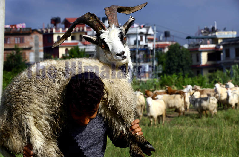 A boy carrying a mountain goat before selling it at a livestock market in Kathmandu, on Monday. Photo: Rajesh Gurung/ THT