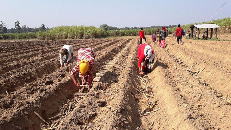 Sugarcane farmers planting sugarcane in Jonapur, Kanchanpur, on Wednesday, November 20, 2019. Photo: RSS