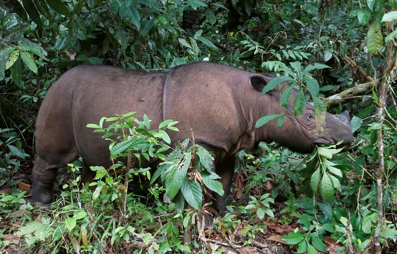 FILE: Ratu, an 8 year-old female Sumatran Rhinoceros (Dicerorhinus sumatrensis), is seen at the Sumatran Rhino Sanctuary in the Way Kambas National Park, Lampung province, May 20, 2010. Photo: Reuters