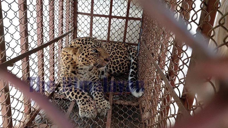 A trapped female leopard kept in a locally-built wooden cage in the community forest of Bhanu Municipality, in Tanahun, on Sunday. Photo: THT