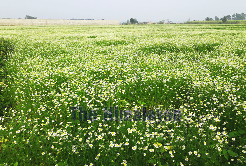 Field covered in Chamomile in Lamidanda, Jeetpur-Simara Sub Metropolitan City-18. Photo: Puspa Raj Khatiwada/THT