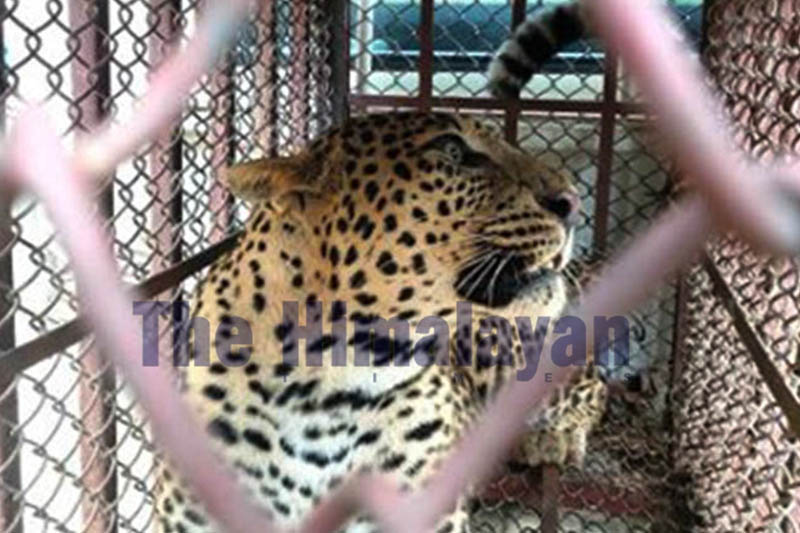 A female leopard trapped in an iron-cage at Sayakunthok community forest in Byas Municipality-9 of Tanahun district, on Thursday, December 26, 2019. Photo: Madan Wagle/THT