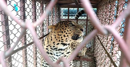 A leopardess inside an iron cage after it was trapped at Byas Municipality-based Syakunthok Community nForest, in Tanahun, on Thursday, December 26, 2019. Photo: THT