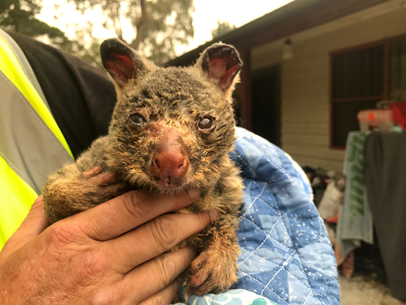 Wildlife Information, Rescue and Education Services (WIRES) volunteer and carer Tracy Burgess holds a severely burnt brushtail possum rescued from fires near Australiau2019s Blue Mountains, December 29, 2019. Picture taken December 29, 2019. Photo: Reuters