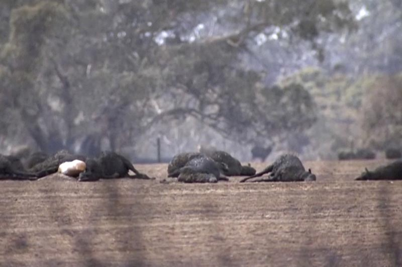 This image made from video shows dead kangaroos and sheep after wildfires hit the Kangaroo Island, South Australia Sunday, January 5, 2020. Photo: AP