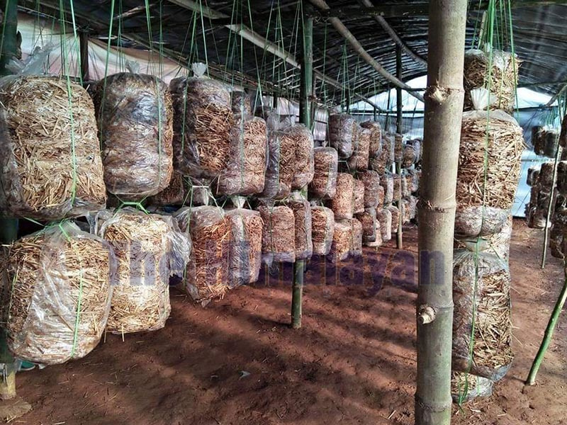 The mushroom being commercially produced by women's group in Dhading. Photo: Keshav Adhikari/THT