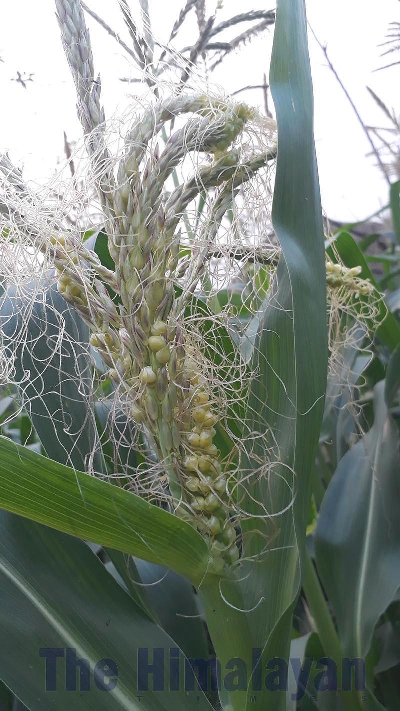 A maize plant that did not bear corn in Jitpursimara sub-metropolis, Bara, on Friday, February 21, 2020. Photo: THT.