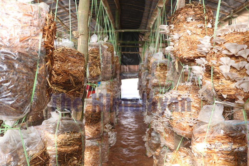 The mushrooms being commercially produced by women's group in Dhading. Photo: Keshav Adhikari/THT