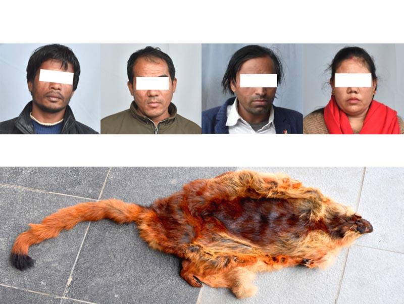 This combo image shows alleged traffickers u2014 (from left) Surya Bahadur Bhujel (39) of Balajor in Tinpatan Rural Municipality-6, Sindhuli district; Suk Bahadur Lama (40) of Jhapre in Dhunibesi Municipality-7, Dhading district; Yuvaraj Sapkota (37) of Tarakang in Madi Rural Municipality-8, Kaski district and Kamala Tamang of Kapan in Budhanilkantha Municipality-13, Kathmandu u2014 of red panda hide shown below. They were arrested from Bushanilkantha Municipality-12, Kathmandu district, in possession of  hide of the endangered arboreal mammal, on monday, February 24, 2020. Photo courtesy: MCD
