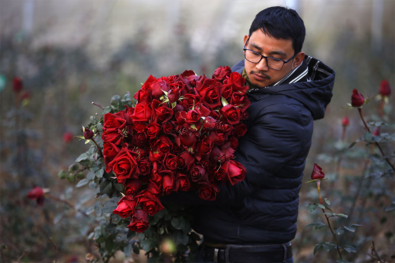 A man carries a bundle of  red roses from a nursery on the outskirts of Kathmandu, on Wednesday, February 12, 2020. Photo: Skanda Gautam/THT