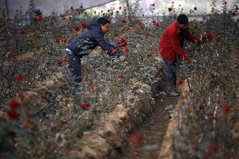Farmers are seen picking red roses at a nursery on the outskirts of Kathmandu, on Wednesday, February 12, 2020. Roses will be on demand on Friday, Valentine's Day. Photo: Skanda Gautam/THT