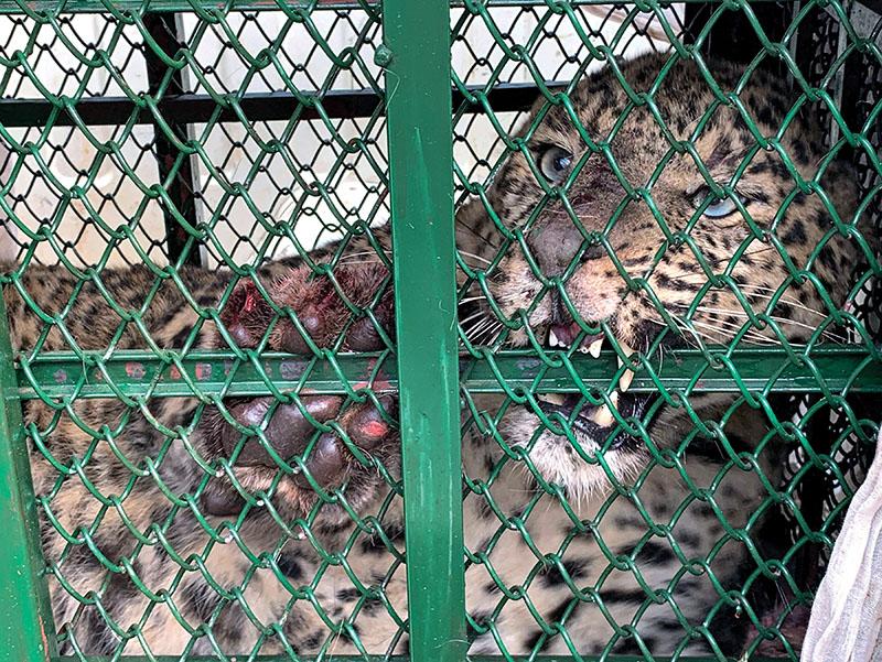 A female leopard inside an iron trap at Lohi Pakha of Bandipur Rural Municipality, Tanahun, on Saturady.Photo: RSS
