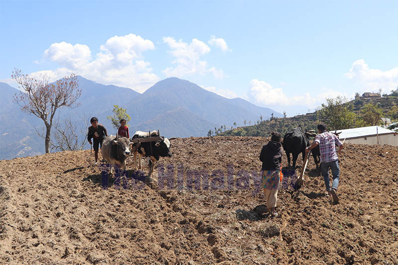 Farmers are seen ploughing a field with cattle to sow maize at Kailash Rural Municipality-2 in Makwanpur district, on Sunday, March 08, 2020. Photo: Prakash Dahal/THT