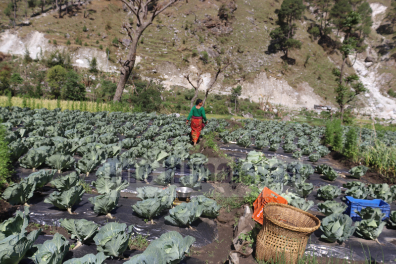 Vegetables growing in the fields of Budhiganga Municipality-2, Bajura, as seen on Friday, April 17, 2020. Photo: Prakash Singh/THT