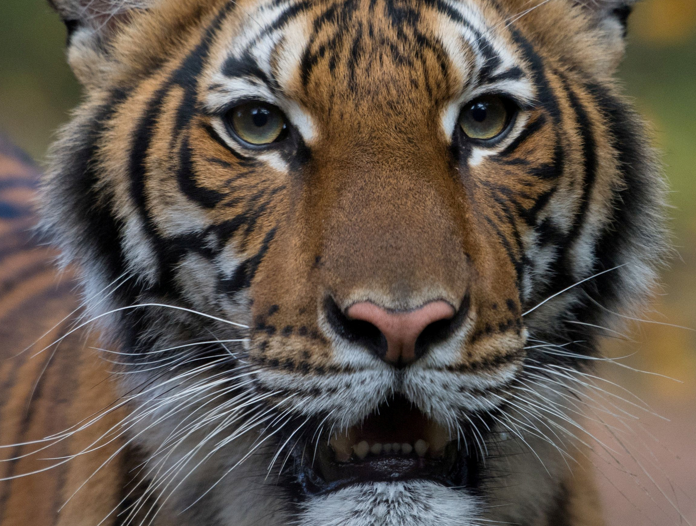 Nadia, a 4-year-old female Malayan tiger at the Bronx Zoo, that the zoo said on April 5, 2020 has tested positive for coronavirus disease (COVID-19) is seen in an undated handout photo provided by the Bronx zoo in New York. Photo: WCS/Handout via Reuters