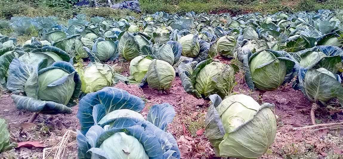 Cabbages turn pale in fields failing to find access to commercial market in Bhojpur amid COVID-19 lockdown. Photo: Niroj Koirala/THT