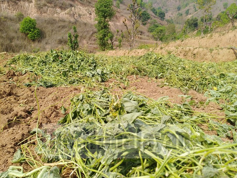Vegetables are seen left in the field in the lack of transportation to the market in Dhading district on Sunday, April 19, 2020. Photo: Keshav Adhikari/ THT