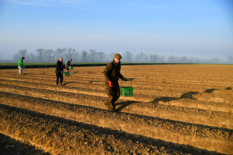 Local residents pick asparagus as they work at Dyas Farms, as foreign workers, the backbone of UK's agriculture force, are missing from the country's fields thanks to the coronavirus disease (COVID-19) lockdown, in Sevenscore, Britain April 16, 2020. Photo: Reuters