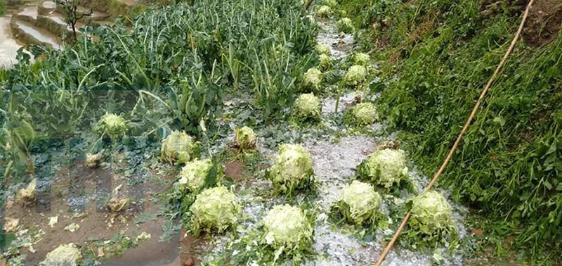 vegetables damaged by hailstone in the central and northern parts of Dhading on Saturday, April 18, 2020. Photo: Keshav Adhikari/ THT