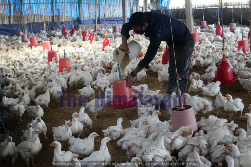 A man is seen working in his poultry farm in Dhankuta district, on Thursday, April 30, 2020. Photo: Khagendra Prasad Ghimire/THT
