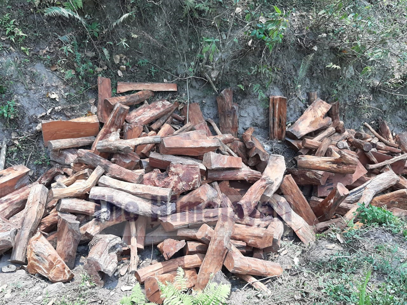A huge piles of catechu timbers seized by the Division Forest Office, Dhading, on Saturday, April 11, 2020. Photo: Keshav Adhikari/THT